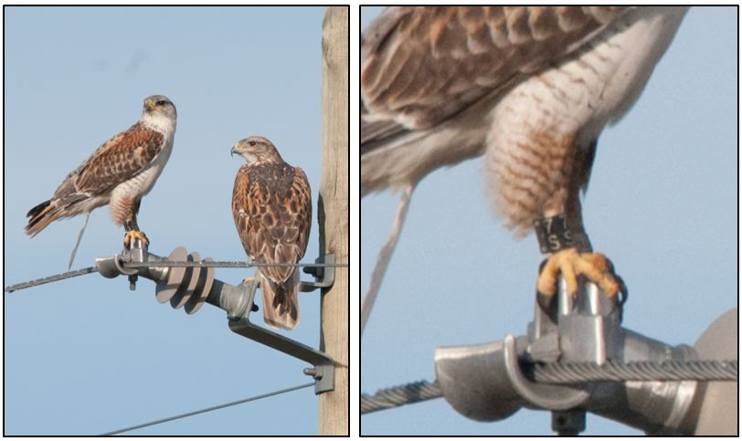 A returning banded male Ferruginous Hawk with his mate.  Photo: Janet Ng.