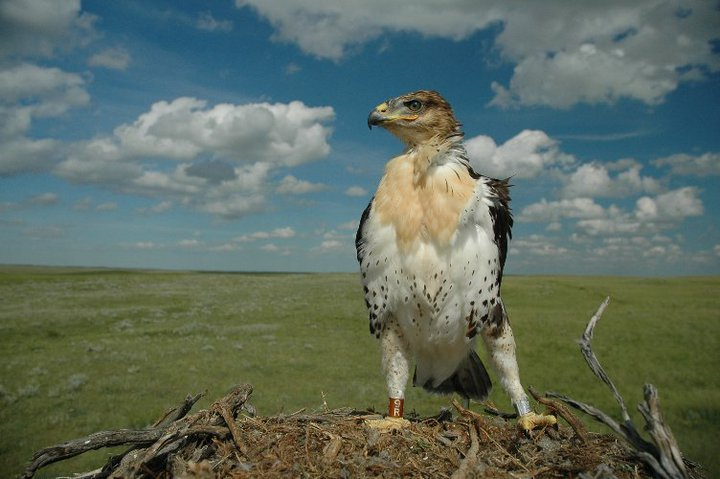 Here is a young female Ferruginous Hawk sporting her new bands.On the left leg (her right leg) is the field-readable colour band and the silver band with serial number is on the right leg. Photo: Janet Ng.