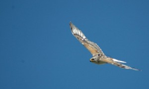 A different male Ferruginous Hawk, but a nice looking bird wearing one of our satellite transmitters.  Photo: Janet Ng.