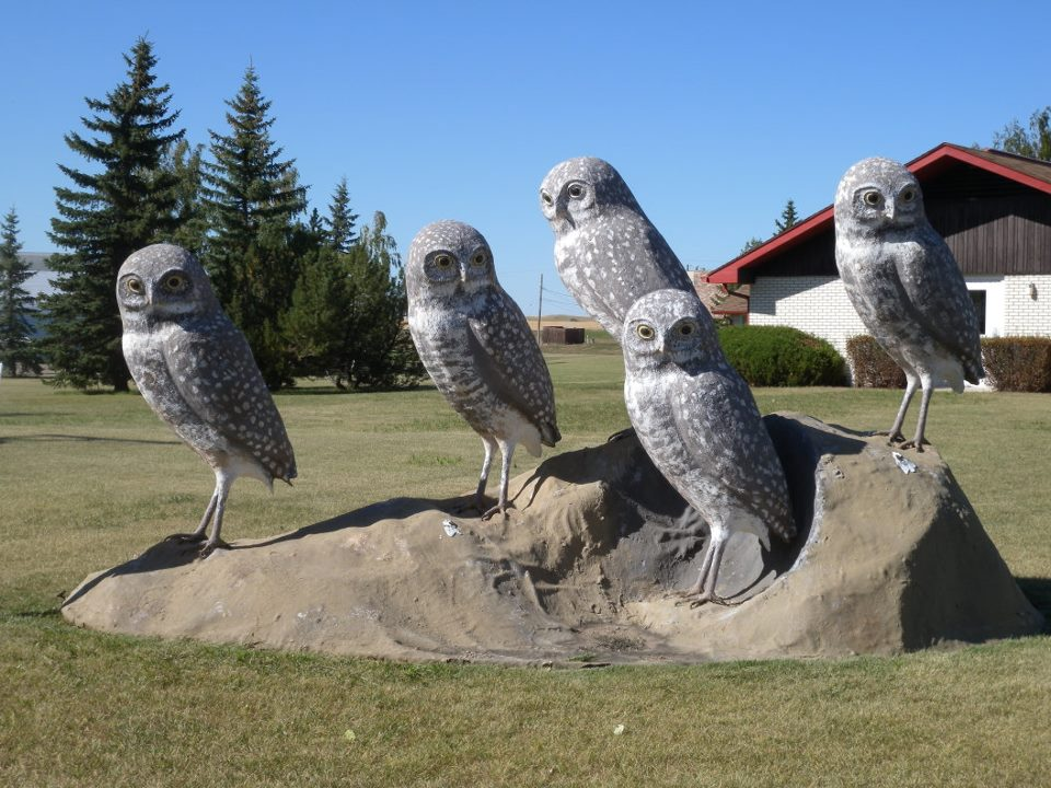 Burrowing Owl family in Leader, SK.  Photo: Janet Ng