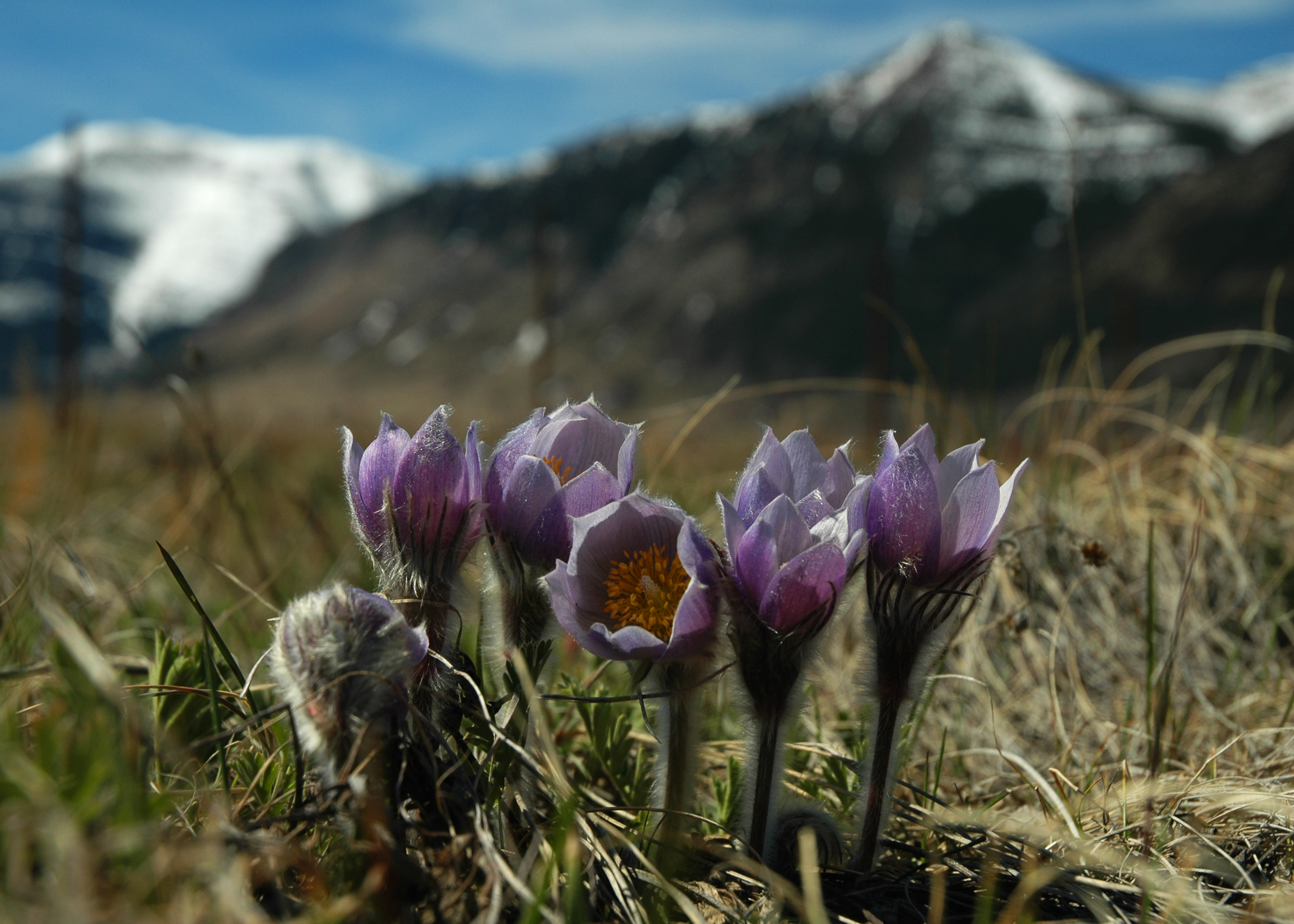 Waterton Crocuses