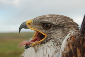 adult male Ferruginous hawk