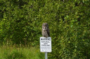 Great gray owl spotted a few weeks ago, he's probably trying to find some small mammals for dinner