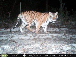 A fully grown adult male tiger photographed by a camera Trap, photo by Marcella Kelly.