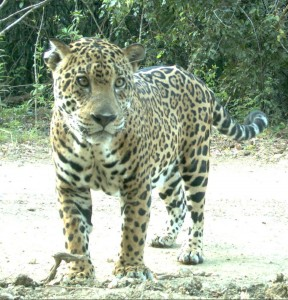 Jaguar photographed by a trail camera set up by Marcella Kelly's lab.