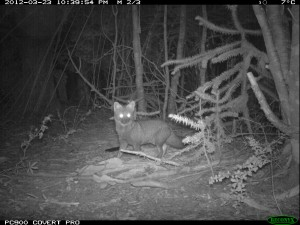 Darwin's fox spotted by a trail camera in Chile.
