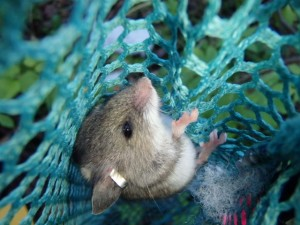 This deer mouse is a recapture, he's already got a shiny metal ear tag. Photo by Julia Shonfield.