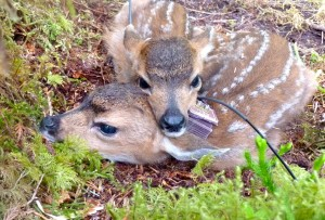 Twin fawns with radio collars, photo by Sophie Gilbert.