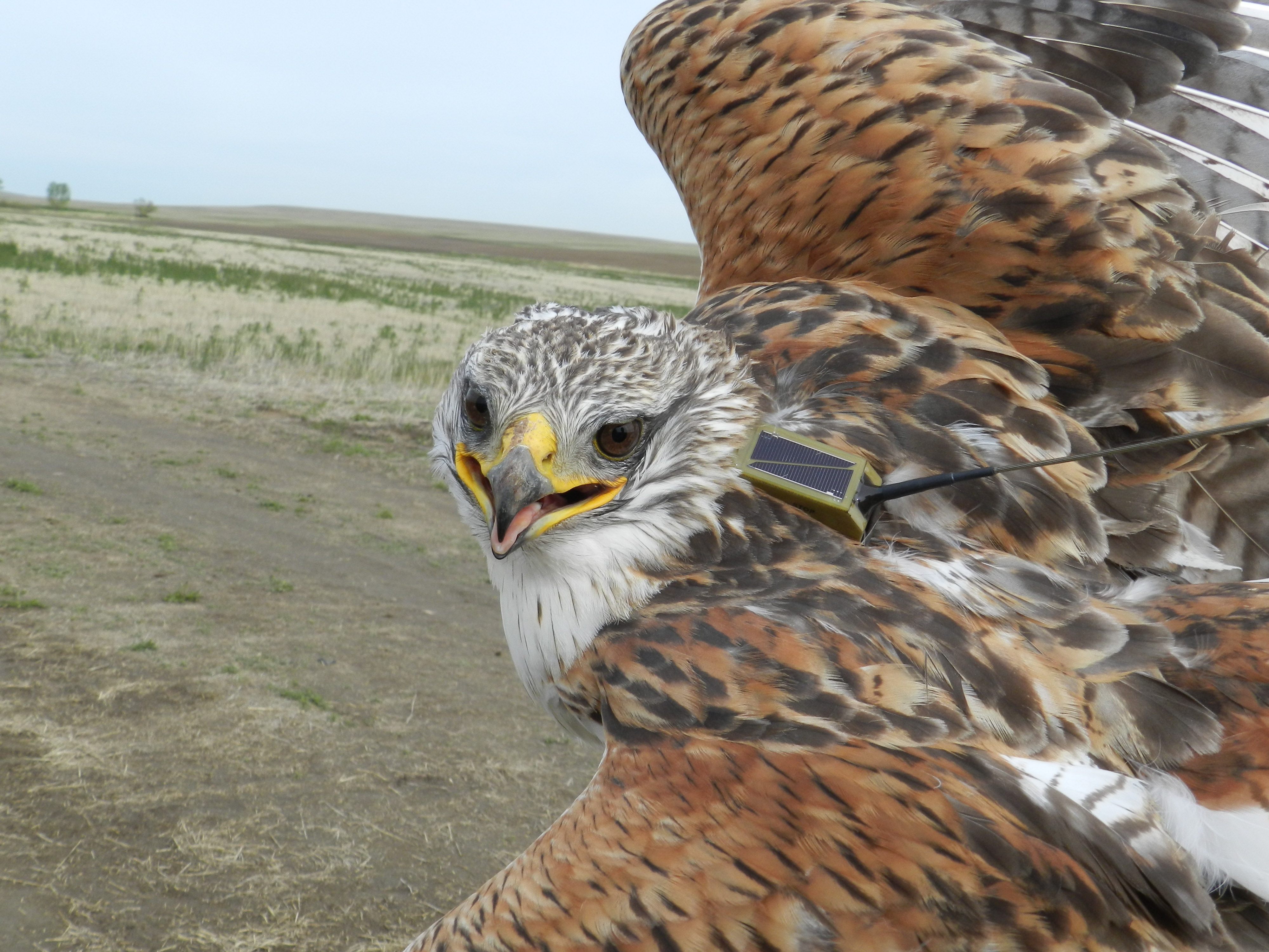 An adult Ferruginous Hawk equipped with a satellite transmitter backpack