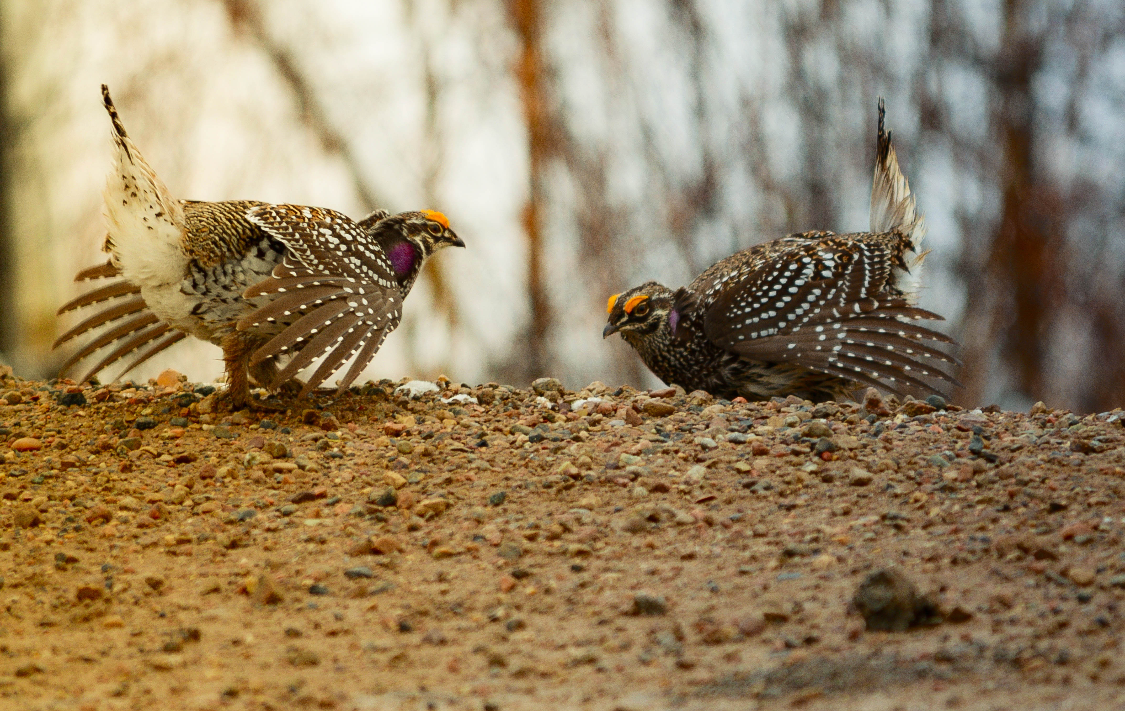Sharp-tailed grouse duelling this past spring in Northeastern BC -Photo by Michelle Knaggs