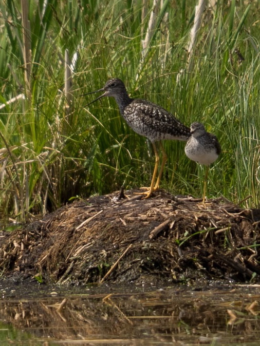 Yellowlegs1